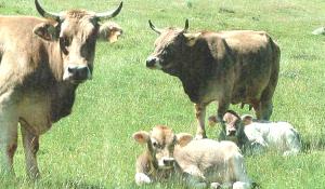 chuleta-valle-esla-en-bilbao